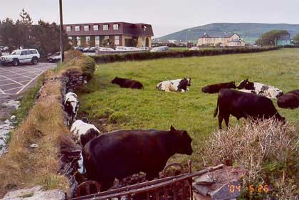 Cows were everywhere & loved us.  (Our hotel is in the background.)