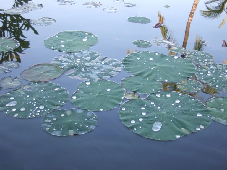 Drops of water on Lotus petals became crystalline jewels,  like Mani Stones.