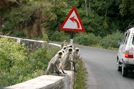 As we headed up the mountain to Mt Abu, there were lots of monkeys to greet us.