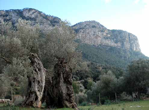 Ancient olive trees from 2000 - 4000 years old   stood as silent sentinals at our Activation site.